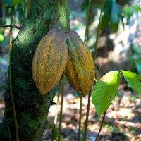 Так растёт какао :: Igor Khmelev