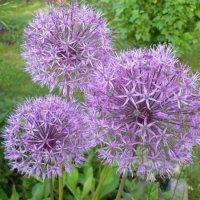 Цветы :: Lyubov Zomova