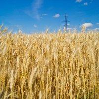 Хлебное поле :: Сергей Гибков