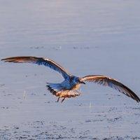 Чайки на Шумилинском озере. 01. :: Анатолий Клепешнёв