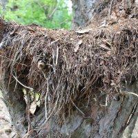 гнездо из елевых иголок :: Татьяна Калинова