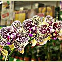Орхидеи. :: Валерия Комова