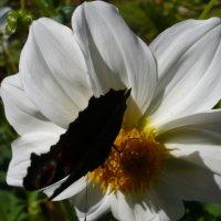 Георгин карликовый и бабочка :: Lyubov Zomova
