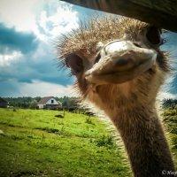 Любопытный страус :: Игорь Вишняков
