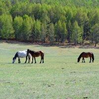 Ходют кони... :: Ольга