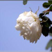роза садовая :: linnud