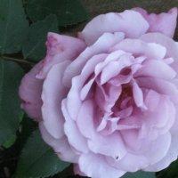 Сиреневая роза :: галина