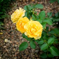 Roses in DuPont gardens :: Vadim Raskin