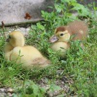 Новое поколение на птичьем дворе :: Нина Сигаева