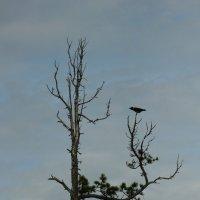 одинокая ворона на старом кедре :: евгений Смоленцев