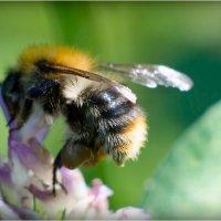 пчела1 :: yameug _