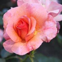 Нет цветка прекрасней розы :: Таня Фиалка