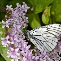 Бабочка и сирень :: Дмитрий (White Starik) Фотолюбитель