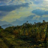 Осенний виноградник :: Аркадий Беляков