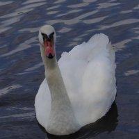 Лебедь :: Роман
