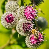 Пчёлка на репейнике. :: Виктор Евстратов