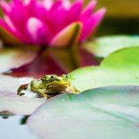 спокойный жабанёнок :: Сергей Боровков