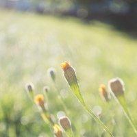 Полевые цветы :: Елена Т.