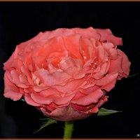 Роза :: mila