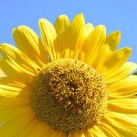 Подсолнухи – цветы солнца :: Вадим Поботаев