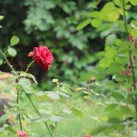 Одинокая роза :: Владимир Марков