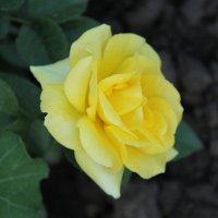 Роза :: Оксана Домнина