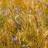Полевые цветы :: Геннадий Хоркин