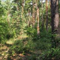 В смешанном лесу :: Виктор