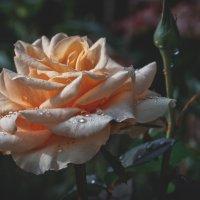 роза чайная. :: Ирэна Мазакина