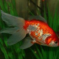 Золотая рыбка :: Наталия Короткова