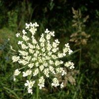 чудо цветок :: tanti123