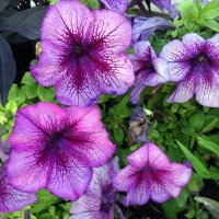 Петуньи цветут :: Татьяна Миронова