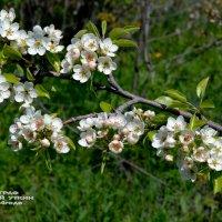 Когда яблони цветут. :: Анатолий