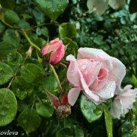 Калининградская Роза :: Екатерина Яковлева