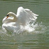 Резвится лебедь белая...! :: Наталья