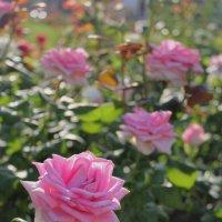 розовые розы :: Людмила Тарасова