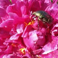 Жук в цветке :: Ирина Крохмаль