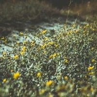 Полевые цветы :: Анна Раневская