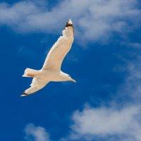 Полет чайки :: Алиса Терновая