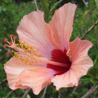 Нежно розовый цветик :: Альфия Еникеева