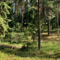 Селигерский лес. :: Viacheslav
