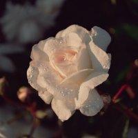 roza :: Greta St