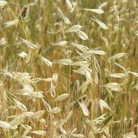Дикие травы. :: Жанна Викторовна