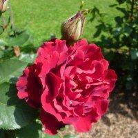 роза  Hommage a Barbara, Delbard :: lenrouz