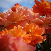 Красавицы розы :: Наталья Лакомова
