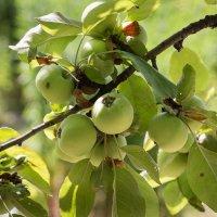 Яблочки молодые... :: Caba Nova