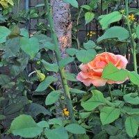 утро, роза и паук :: Александр Корчемный