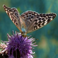 Бабочка :: Макс Бушуев