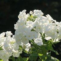 Белые, белые флоксы :: Вера Моисеева