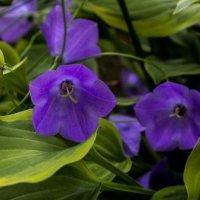 Колокольчики мои, цветики... садовые... :: Ирина Терентьева